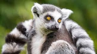 Lemur6.jpg