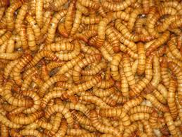 Mealworms - 50 count