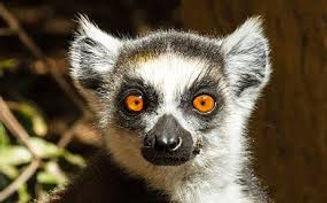 Lemur5.jpg