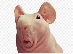 skinny pig 3