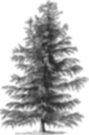 TREE ILLUSTRATED.jpg