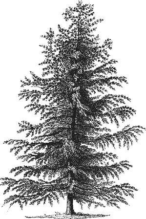 TREE ILLUSTRATED.jpg