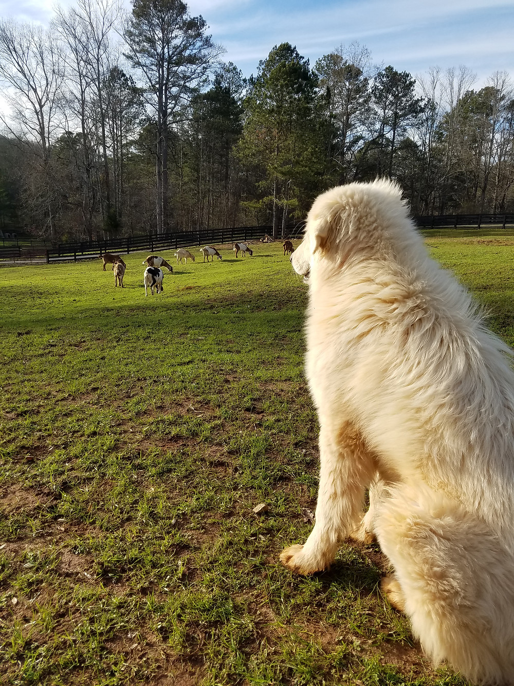 Evelina, the longer-bodied, longer-haired Pastore Abruzzese, watching our goat herd