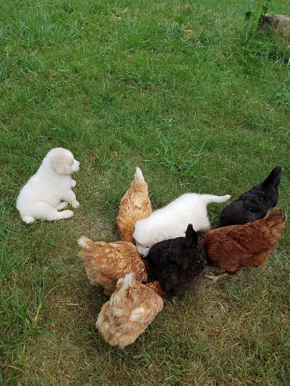 Pups in training with our hens.