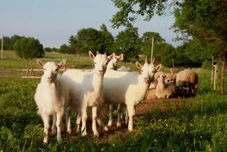 Feeding Ruminants