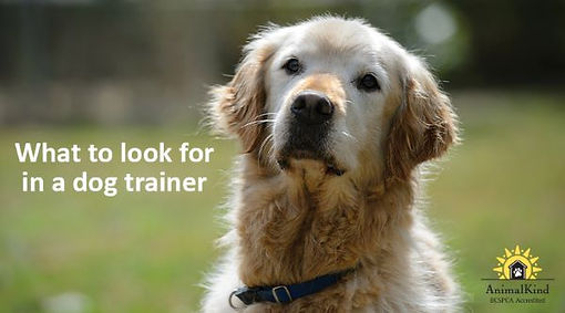 AK-seminar-golden retriever dog-very sma