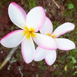 #hawaii #flower #heart #beauty