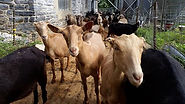 Milking time at Linden Dale.jpg