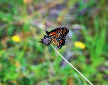 Butterfly, Adirondacks
