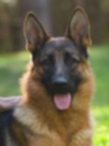 German Shepherd Puppies for sale in New England