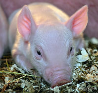 #373 Close up of Piglet_1.jpg