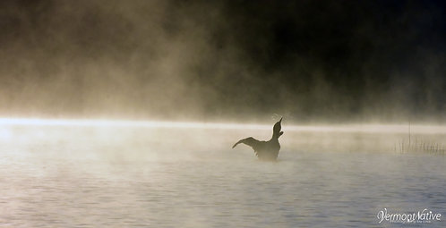 Foggy Morning with loon