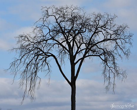 Elm Tree with Clouds