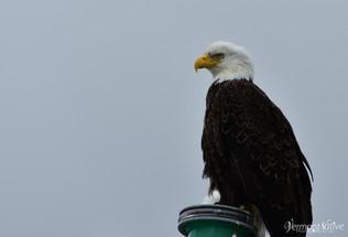 Eagle Sitting Pretty