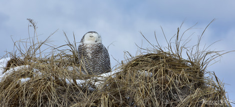 Snowy Owl sitting on Sand Dune