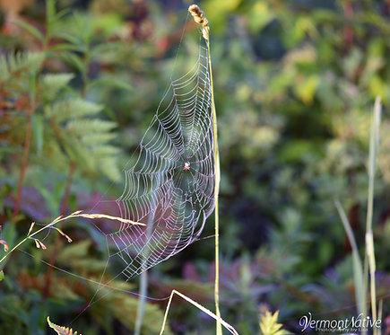 Delicate Spider Web