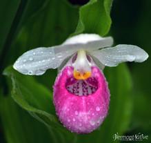 Showy Lady Slipper with Dew