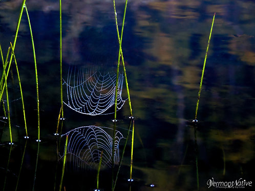 Painted Spider Web
