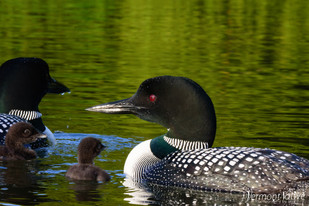 Loon Family of 4