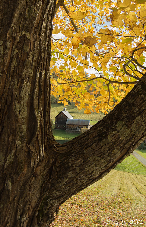 Vermont Farm in V of Maple Tree