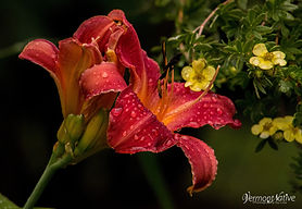 Day Lily Flower with Rain drops_1.jpg