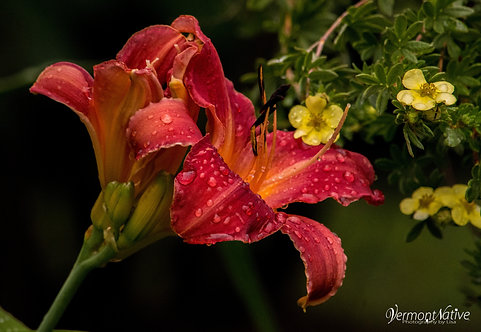 Day Lily Flower with Rain Drops