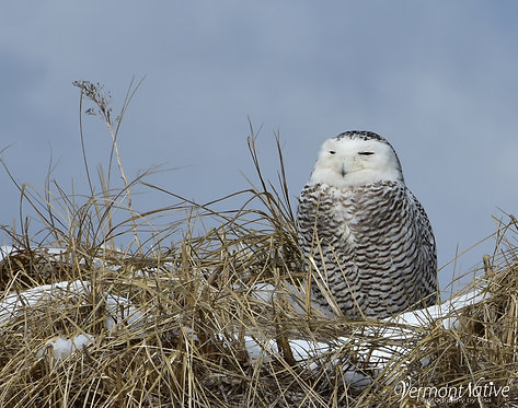 Snowy Owl Watching from Sand Dune