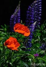 Poppies and Lupins