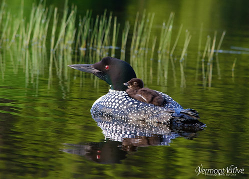 Loon with Baby In front of Grass