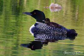 Loon and Baby Waiting to Eat