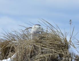 Hiding Snowy Owl Sleeping