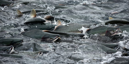 Pink Salmon Group