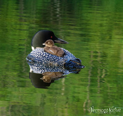 loon with baby on back with green water.