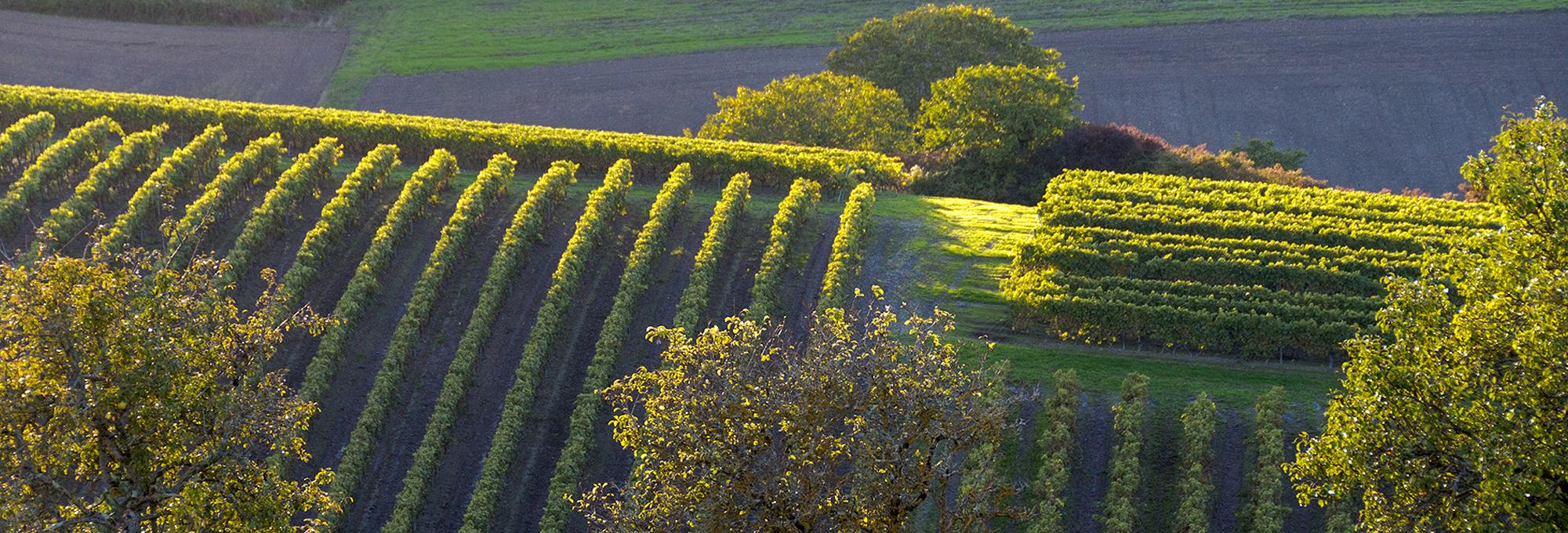 Vigne de Bouteville