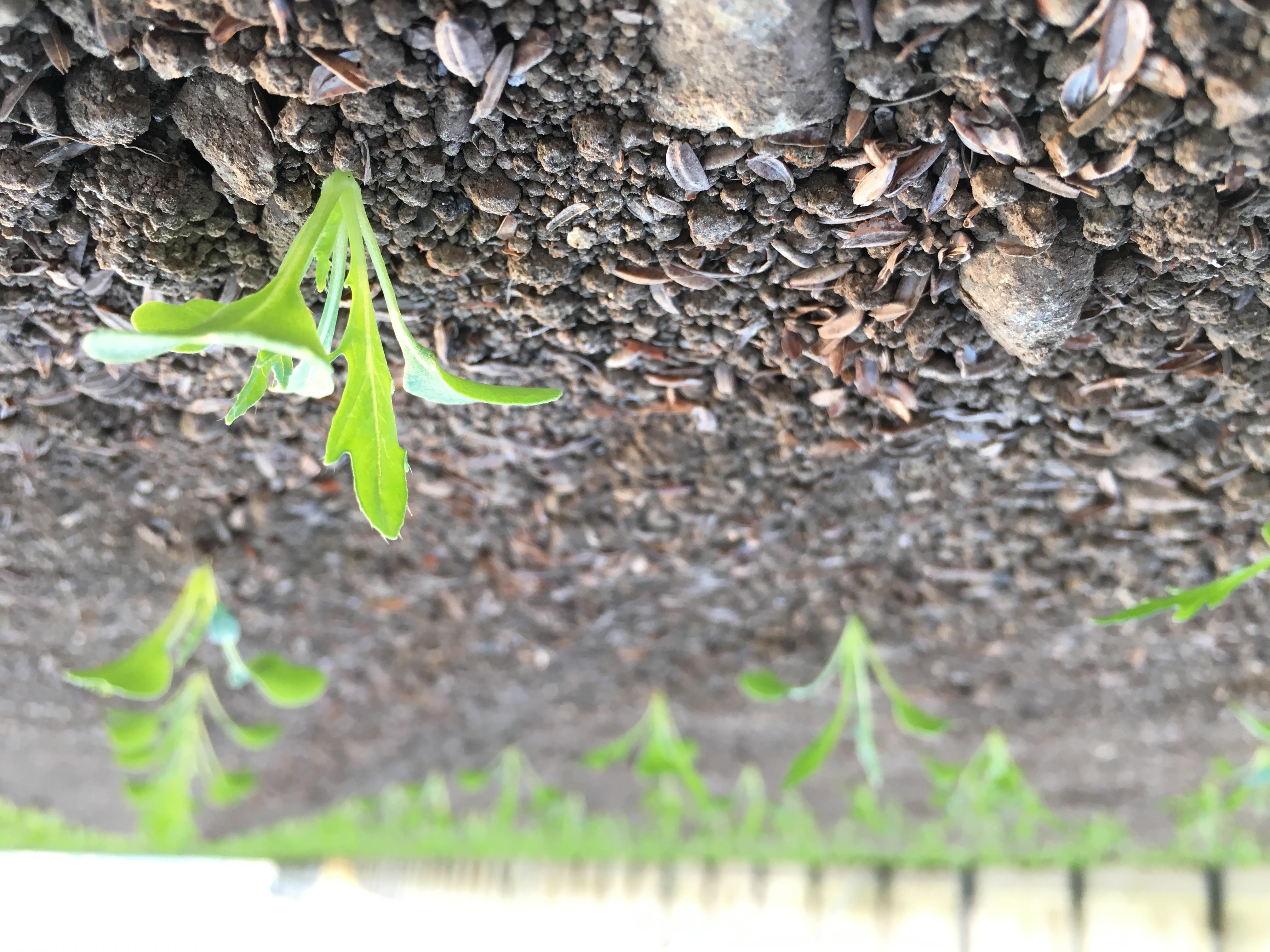 みずなの芽