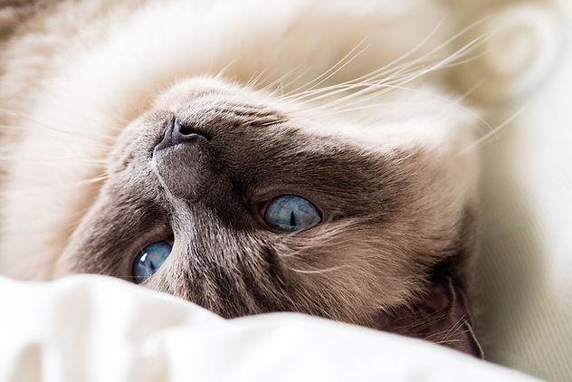Ragdoll Cat, close up, shallow depth of field