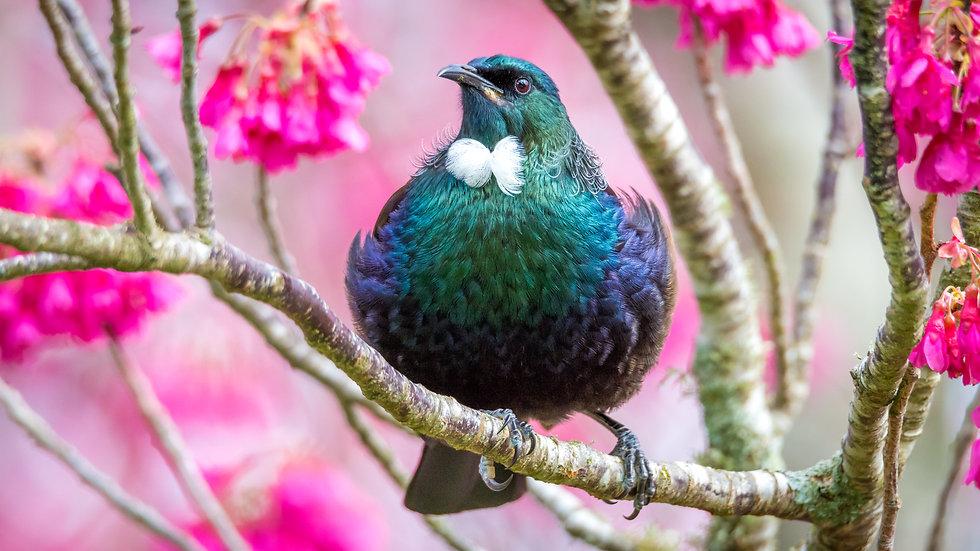 NZ Tui