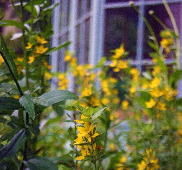 Jon Ash Garden Design - Lysimachia