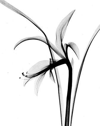"(#1539) ""Flower X-Ray (Fuchsia)"" by Dr. M. F. Agha"