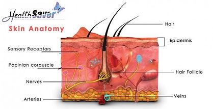 HealthSaver Skin anatomy.jpg