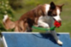 FAB Agility dog