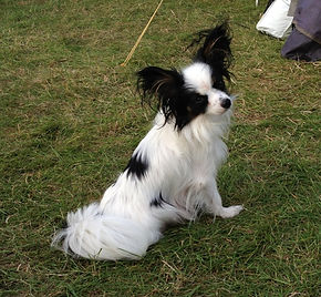Dancer, lost Papillon, Paillon, lost dog