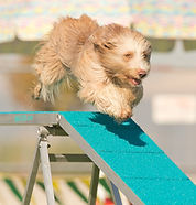 Breezer flying on the dog-walk! (1).jpg