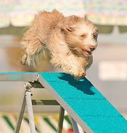 Breezer flying on the dog-walk! (1).jpg