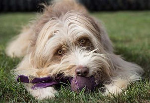 Dawn Weaver, Dog, Dog Agility, Breezer