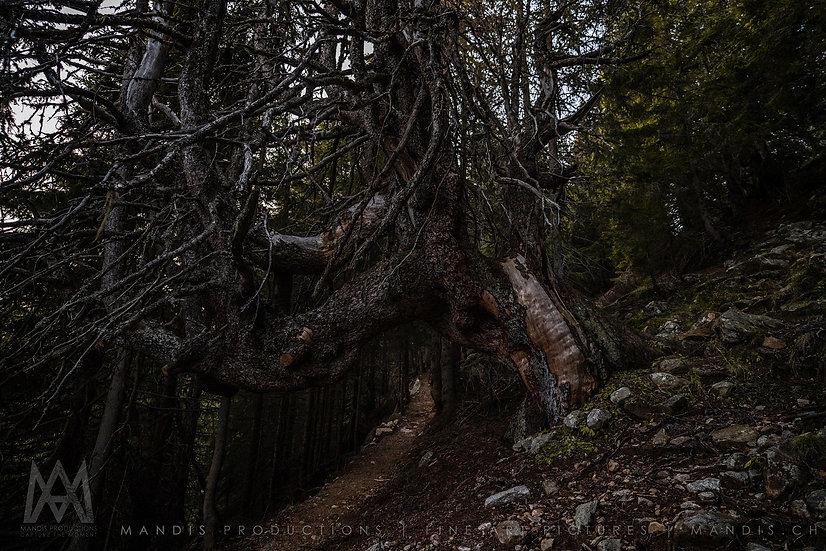 139 | Old tree |  Schweiz
