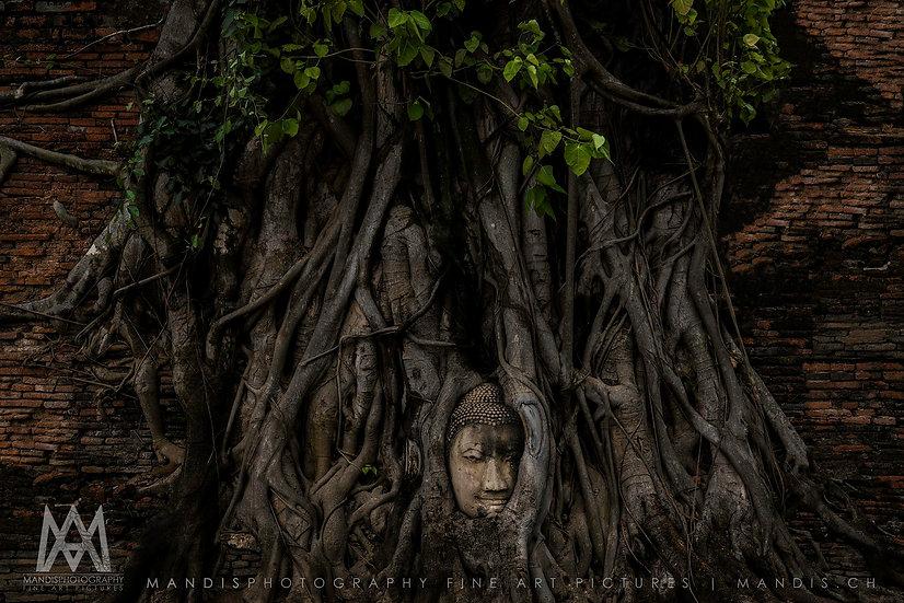 23 | Buddha Tree  |  Ayutthaya