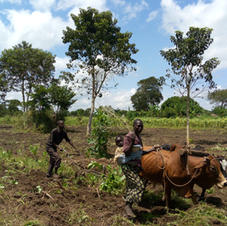 StepUp - family ploughing field with cattle.