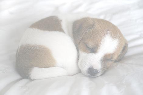 sleeping jack russell puppy_edited.jpg