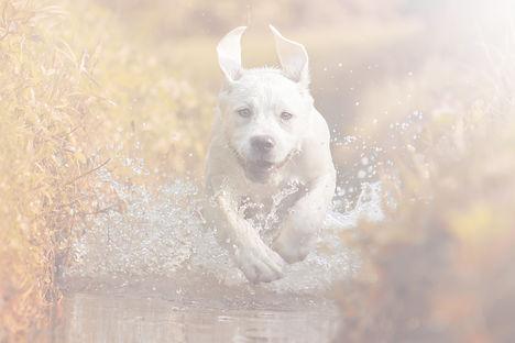 A young Labrador Retriever Dog is runnin